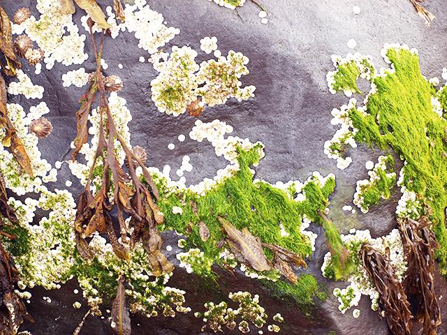 Barnacle-moss