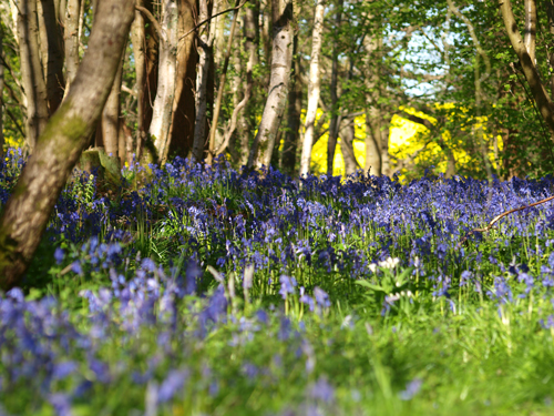 Bluebell-Blog-and-Rapeseed