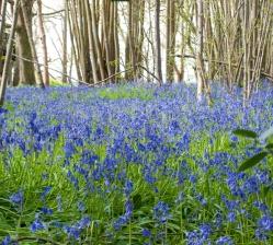 Blue-Bell-Wood-